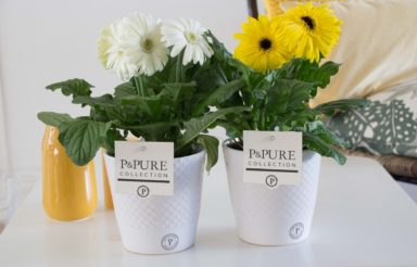 T12-PC05-015-Gerbera-p12-mix-in-Expression-white-2