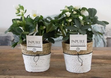 T12-PC05-027-Gerbera-p12-mix-in-Pure-Basket-IV