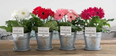 T12-PC05-047-Gerbera-p12-mix-in-zinc-pot-Louise