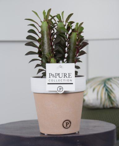 TR-IN-PC17-54-Euphorbia-Trigona-Rubra-in-Pure-Terra-Cotta-2