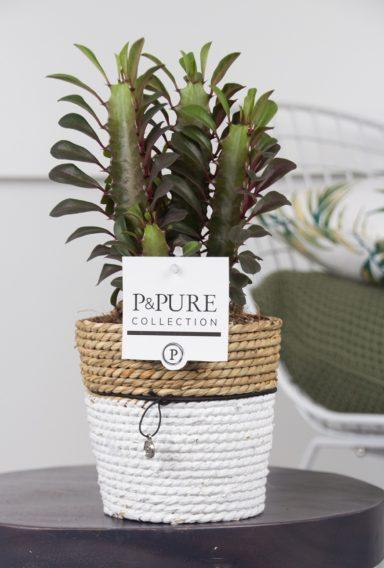 TR-INPC175-Euphorbia-Trigona-Rubra-p12-in-Pure-Basket-III