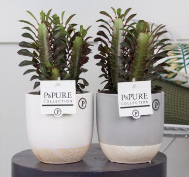 TRIGONEMILYWB-Euphorbia-Trigona-p12-in-Emily-cer.-ass