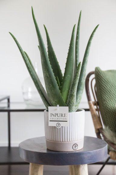 VERALUCILLE-Aloe-Vera-p12-in-Lucille-ceramics-grey