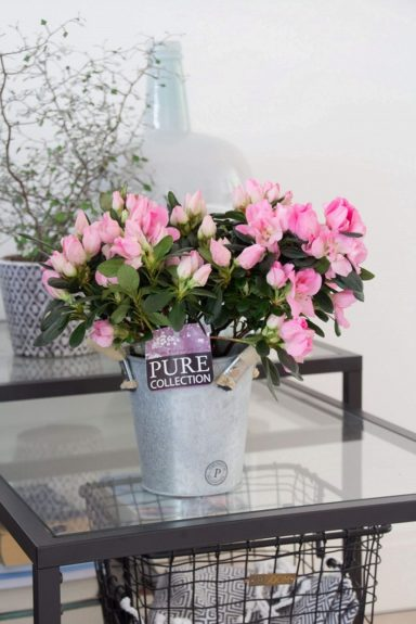 pc15-164-Azalea-p12-pink-in-zinc-pot-Louise