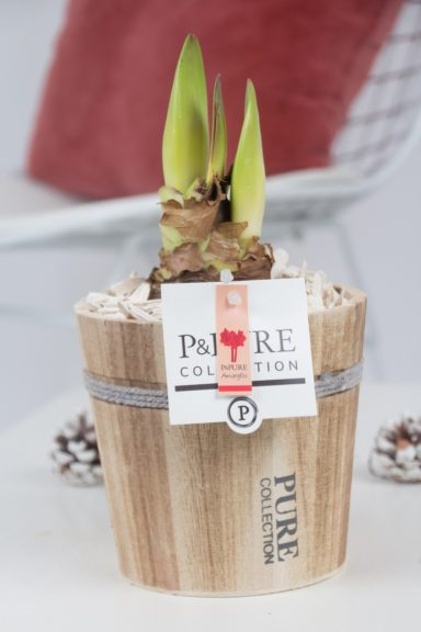 PC02-010-Amaryllis-p12-red-in-Pure-Wood-pot-4