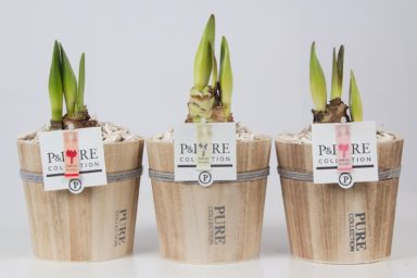 PC02-011-Amaryllis-p12-mix-in-Pure-Wood-pot
