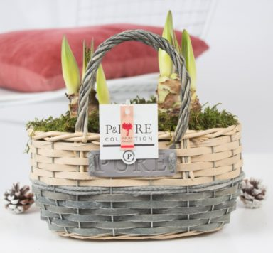 PC02-013x-Amaryllis-p12-red-in-Fieldbasket-5