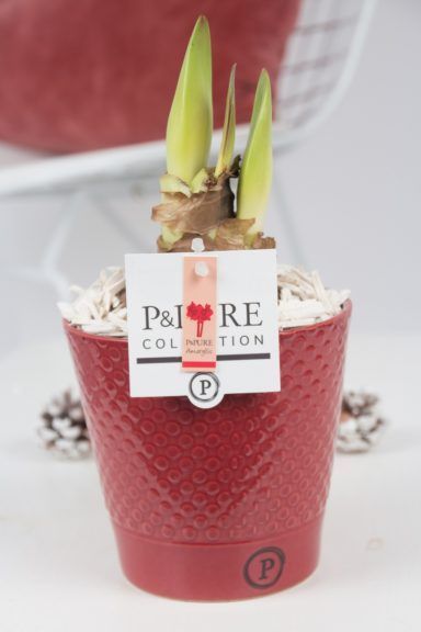 PC02-016-Amaryllis-p12-red-in-Expression-cer.-red
