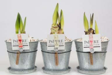 PC02-033-Amaryllis-p12-mix-in-zinc-pot-Louise