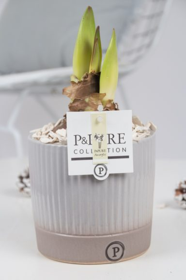 PC02-099-Amaryllis-p12-white-in-Lucille-ceramics-grey