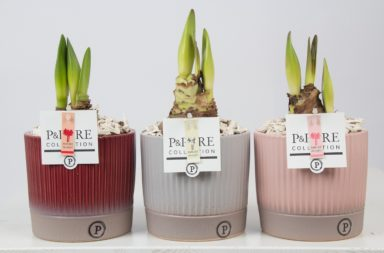 PC02-101-Amaryllis-p12-mix-in-Lucille-ceramics-ass.3