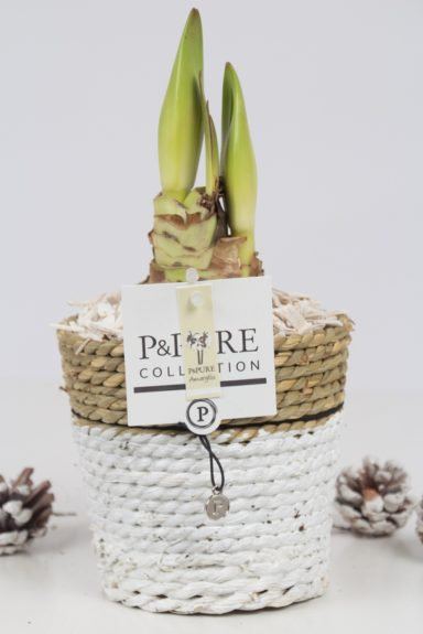 PC02-108-Amaryllis-p12-white-in-Pure-Basket-IV