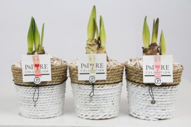 PC02-110-Amaryllis-p12-mix-in-Pure-Basket-4