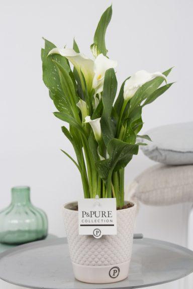 PC02-401-Zantedeschia-p12-white-in-Bijoux-ceramic-white