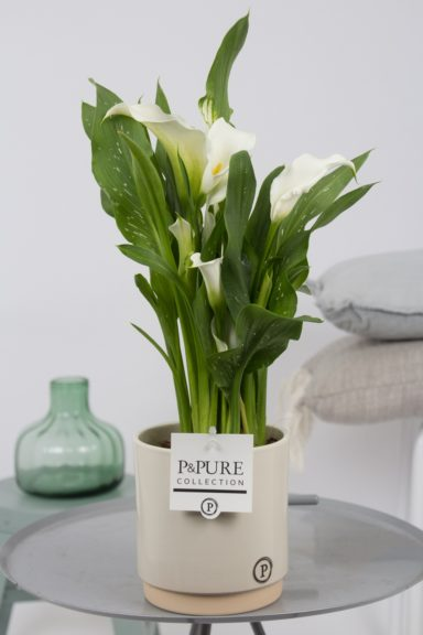 PC02-402-Zantedeschia-p12-white-in-Julia-ceramics-creme