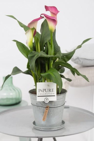 PC02-409-Zantedeschia-p12-pink-in-zinc-pot-Louise