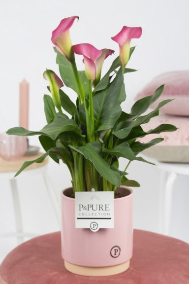 PC02-411-Zantedeschia-p12-pink-in-Julia-ceramics-pink