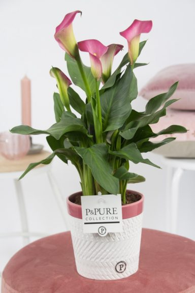 PC02-412-Zantedeschia-p12-in-Valerie-ceramics