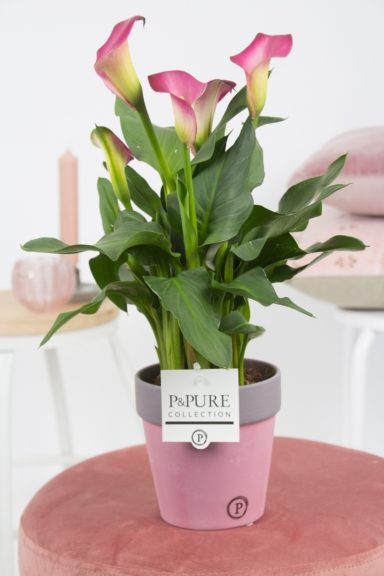 PC02-415-Zantedeschia-p12-pink-in-Clay-ceramics-II-reddish