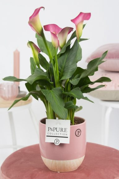 PC02-418-Zantedeschia-p12-pink-in-Emily-ceramics-pink