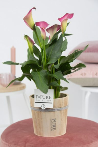 PC02-419-Zantedeschia-p12-pink-in-Pure-Wood-pot-4