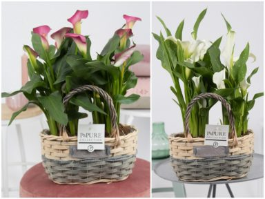 PC0230-2x-Zantedeschia-p12-mix-in-Fieldbasket