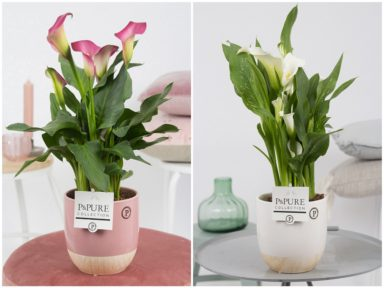 PC02-452-Zantedeschia-p12-pink_white-in-Emily-ceramics-pink