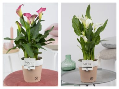 PC02-454-Zantedeschia-p12-mix-in-Pure-Terra-Cotta-2