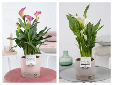 PC02-456-Zantedeschia-p12-mix-in-Lucille-ceramics