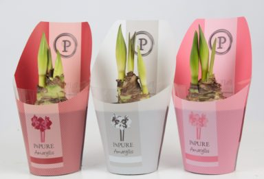 PC02-92-Amaryllis-p12-mix-in-Pure-Collection