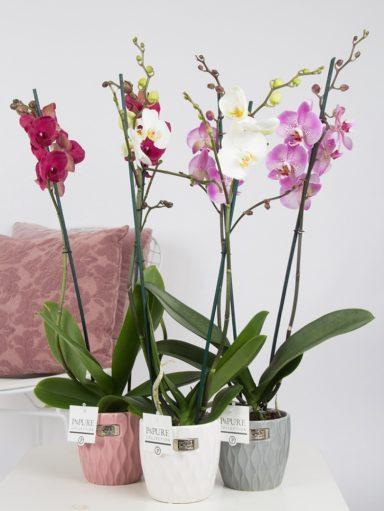 P2TDPB2-Phalaenopsis-p12-tak-mix-in-Bijoux-II-ceramics-assorti