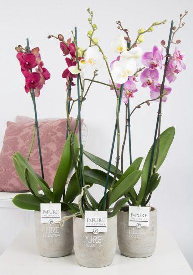 P2TDPJA-Phalaenopsis-p12-tak-mix-in-Jade-II-ceramics