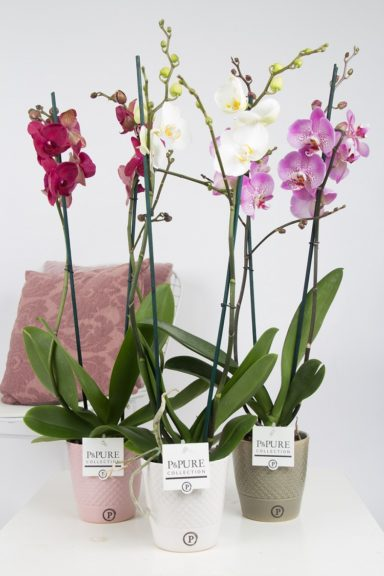 P2TDPX-Phalaenopsis-p12-tak-mix-in-Expression-Ceramics-assorti-3