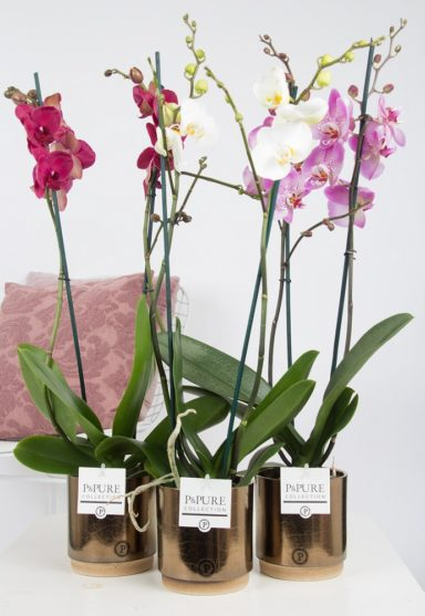 P2TMDPJBR-Phalaenopsis-p12-tak-mix-in-Julia-ceramics-Bronze_gold