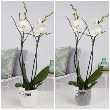 P2TWDPB2-Phalaenopsis-p12-tak-white-in-Bijoux-II-ceramics-white_grey
