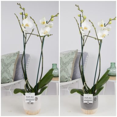 P2TWDPE-Phalaenopsis-p12-tak-wit-in-Emily-ceramics-white_grey