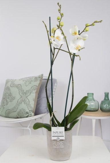 P2TWDPJA-Phalaenopsis-p12-white-in-Jade-ceramics-assorti