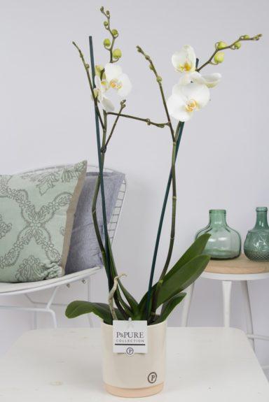P2TWDPJUC-Phalaenopsis-p12-white-in-Julia-ceramics-creme