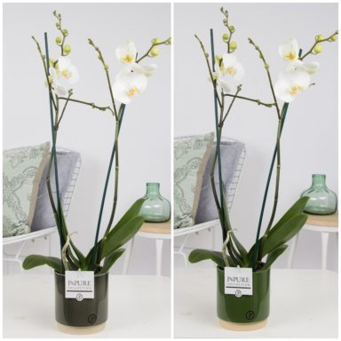 P2TWDPJUG.-Phalaenopsis-p12-white-in-Julia-green-ass_2