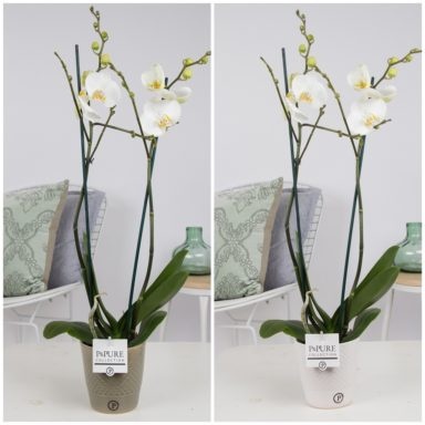 P2TWDPX2-Phalaenopsis-p12-2-tak-wit-in-Expression-ceramics-white_green