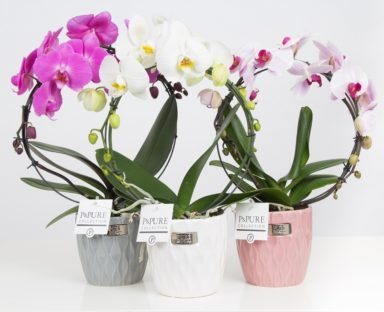 PBMDPB2-Phalaenopsis-p12-boog-mix-in-Bijoux-ceramics-II-ass.3