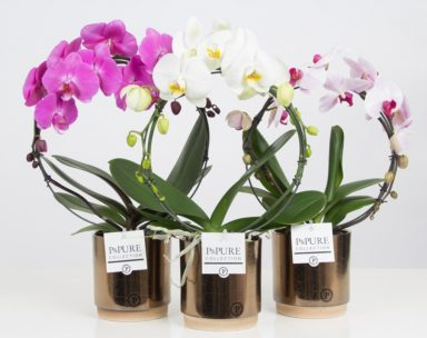 PBMDPJBR-Phalaenopsis-p12-boog-mix-in-Julia-ceramics-gold_bronze