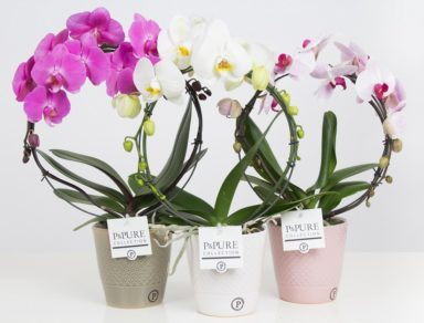 PBMDPX-Phalaenopsis-p12-boog-mix-in-Expression-ceramics-assorti