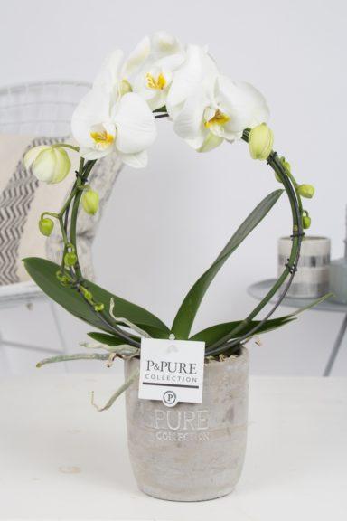 PBWDPJA-Phalaenopsis-p12-boog-wit-in-Jade-II-ceramics