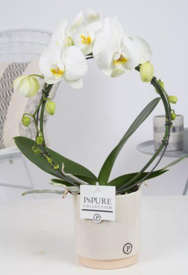 PBWDPJUC-Phalaenopsis-p12-boog-wit-in-Julia-ceramics-creme
