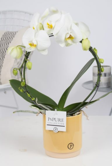 PBWDPJUY-Phalaenopsis-p12-boog-wit-in-Julia-ceramics-yellow
