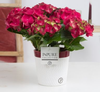 PC12-001-Hydrangea-p12-in-Valerie-ceramics