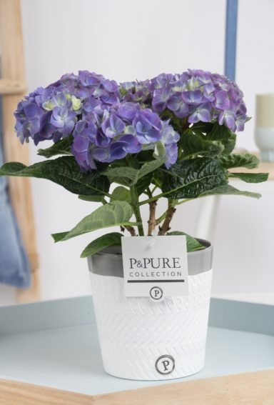 PC12-002-Hydrangea-p12-blue-in-Valerie-ceramics