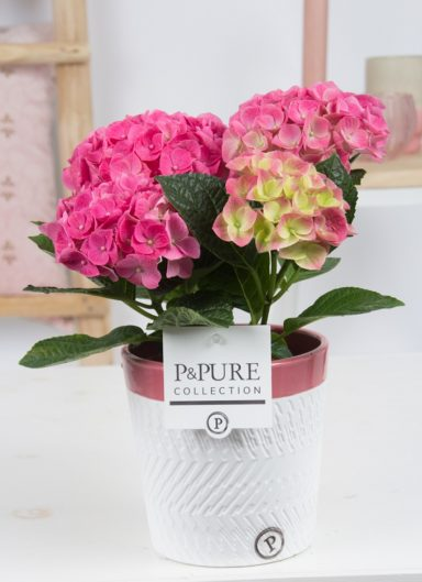 PC12-003-Hydrangea-p12-in-Valerie-ceramics