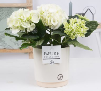 PC12-116-Hydrangea-p12-white-in-Julia-ceramics